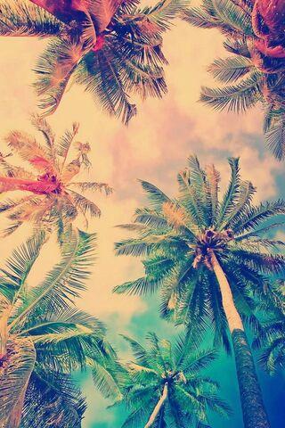 ताड़ के पेड़ ग्रीष्मकालीन