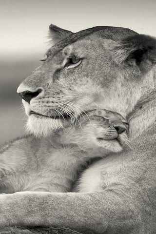 Lion Love