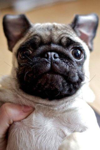 Sevimli Pug