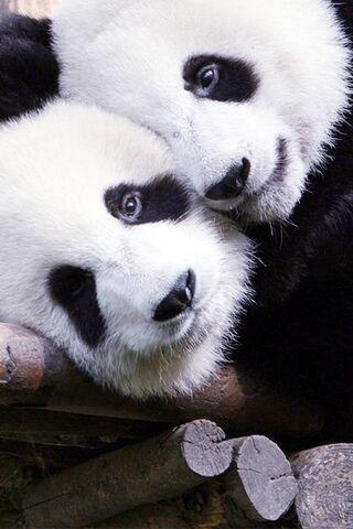Jim-Panda Love