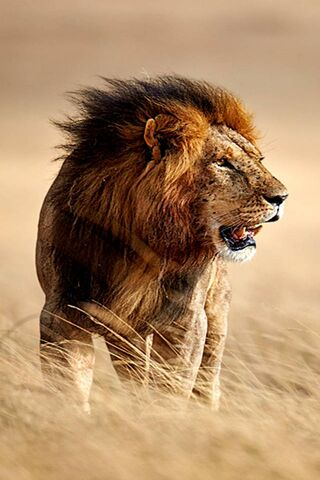 Wild Lion