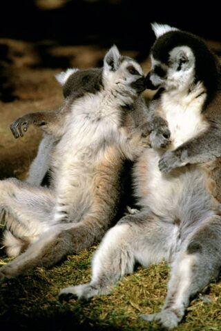 Lemur Romance