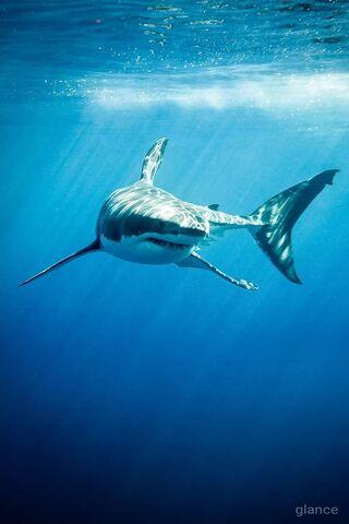 Grand Requin Blanc Fond D Ecran Telecharger Sur Votre Mobile Depuis Phoneky