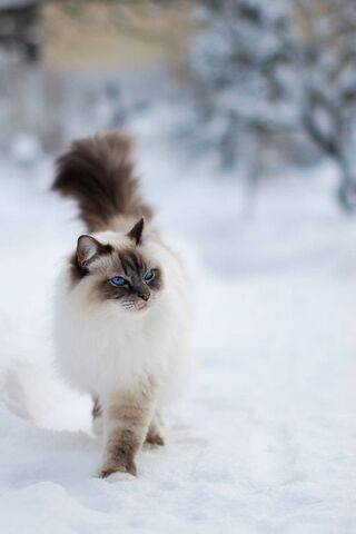 बर्फ मांजर