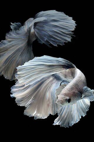 Champion Fish 6s-3