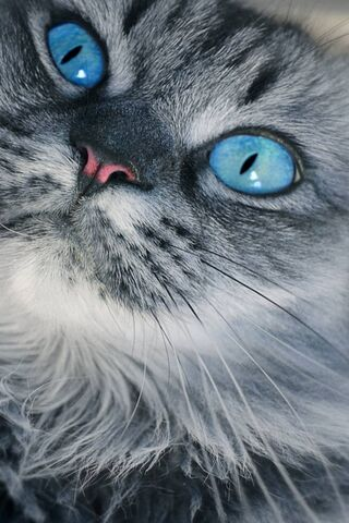 Cat Blue Eye
