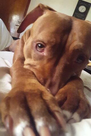 比特犬贝拉
