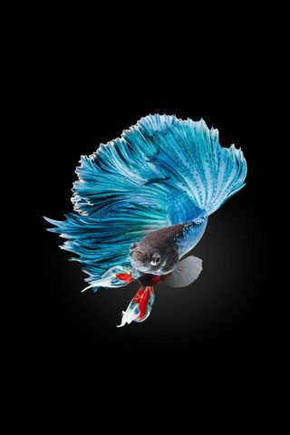Fighter Fish 7