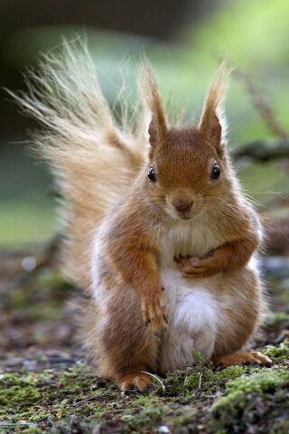 붉은 다람쥐
