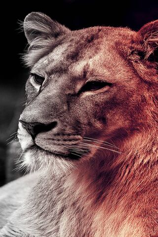 Singa betina