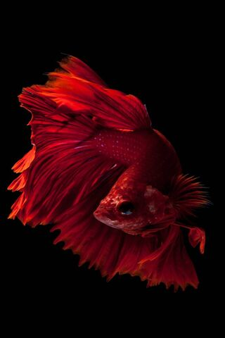 Champion Fish 6s-6