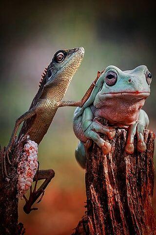 Eidechsen-Frosch-Liebe