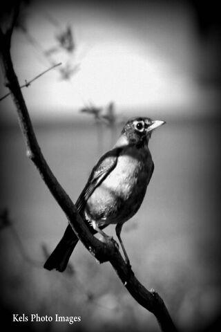 Robin Sitting