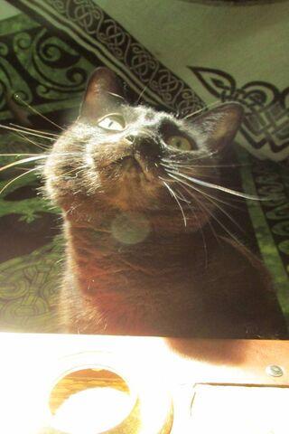 रहस्यवादी मखमली बिल्ली