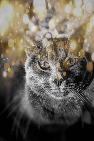 البريطانية القط الذهب