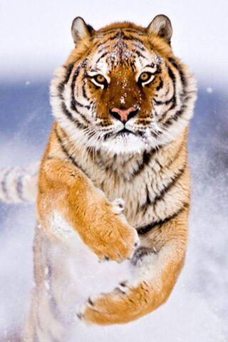बंगाल टाइगर