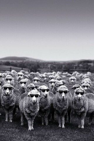 Funny Sheep Flock