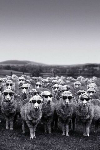 Cool Sheep Flock
