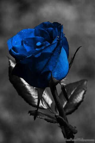 Black and Blue Rose