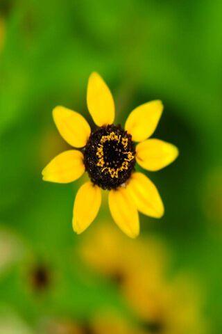 पीला फुल