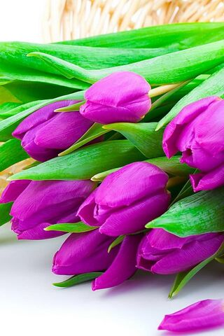বেগুনি Tulips