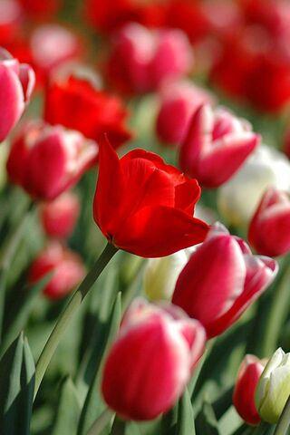 लाल फूल