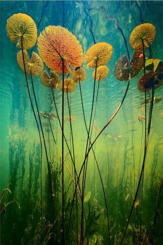 Water Lilies Hd