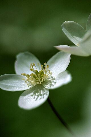 बसंती फूल