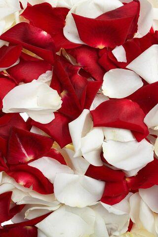 Petals Rose