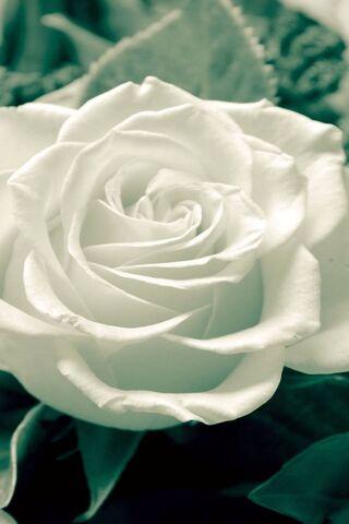 सफेद गुलाब