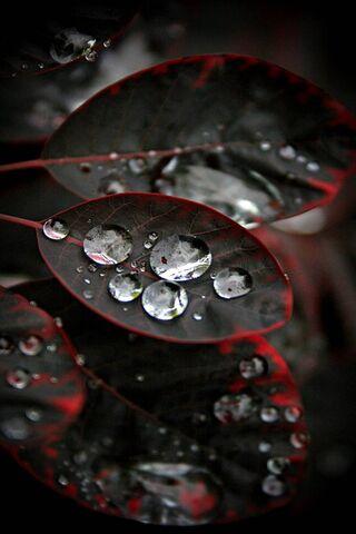 काले लाल पत्तियां