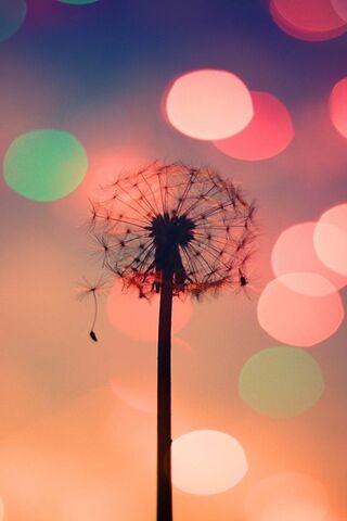 Cute Dandelion Hd