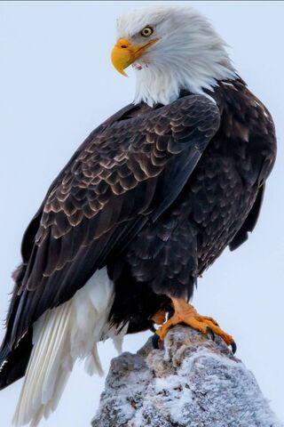 대머리 독수리