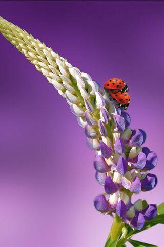 Ladybird Lavender La
