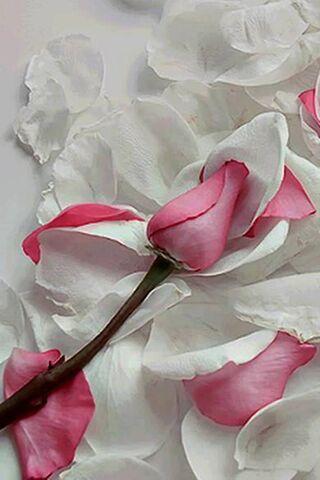 सफेद गुलाबी गुलाब