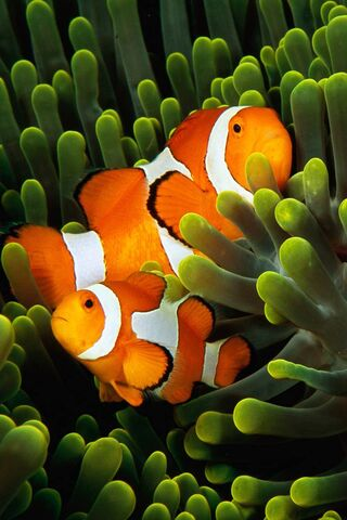 Clown Fish and Anemo