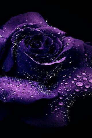 자주색 장미