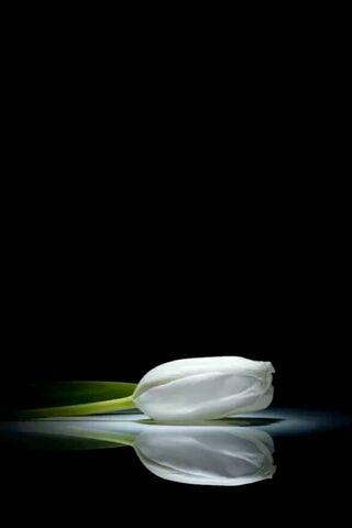 Hoa tulip trắng