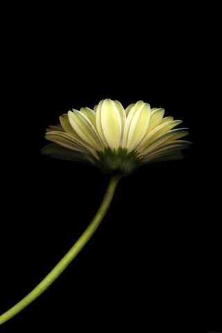 लिली का फूल