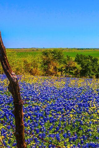 Bluebonnets en fleurs