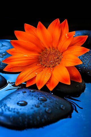 البرتقال عباد الشمس