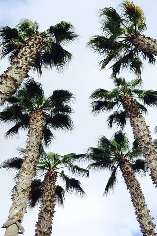 Pokok Palma