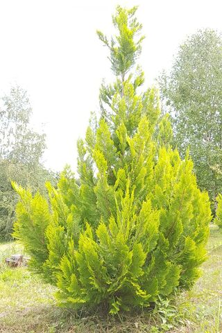 Green Flame Tree