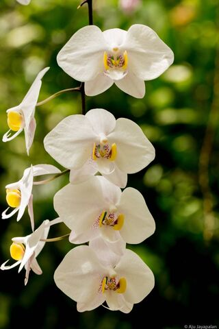 4 White Flowers
