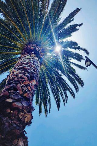 ला पाल्मा पेड़
