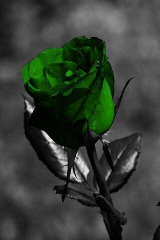 rose verte fond d ecran telecharger sur votre mobile depuis phoneky rose verte fond d ecran telecharger
