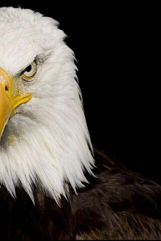 Eagle By Nbenn23