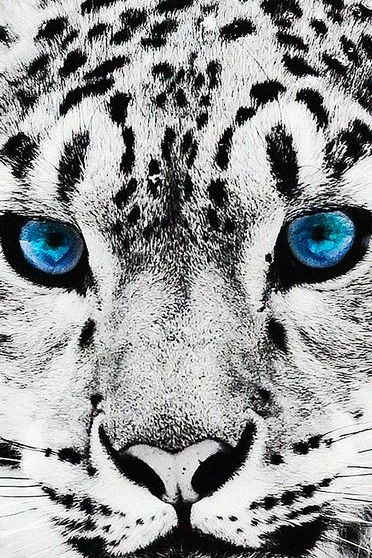 Blue Eyed Leopard