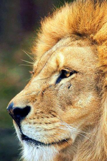 Lion King In Wild