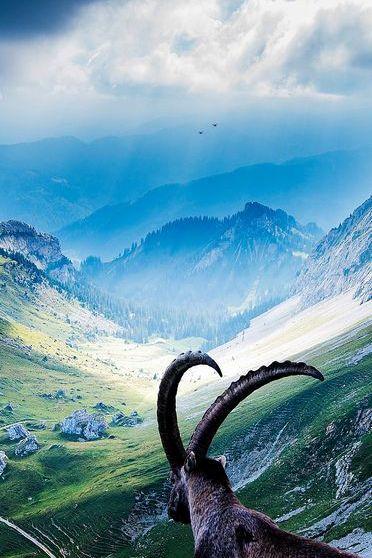 Goat On Mount